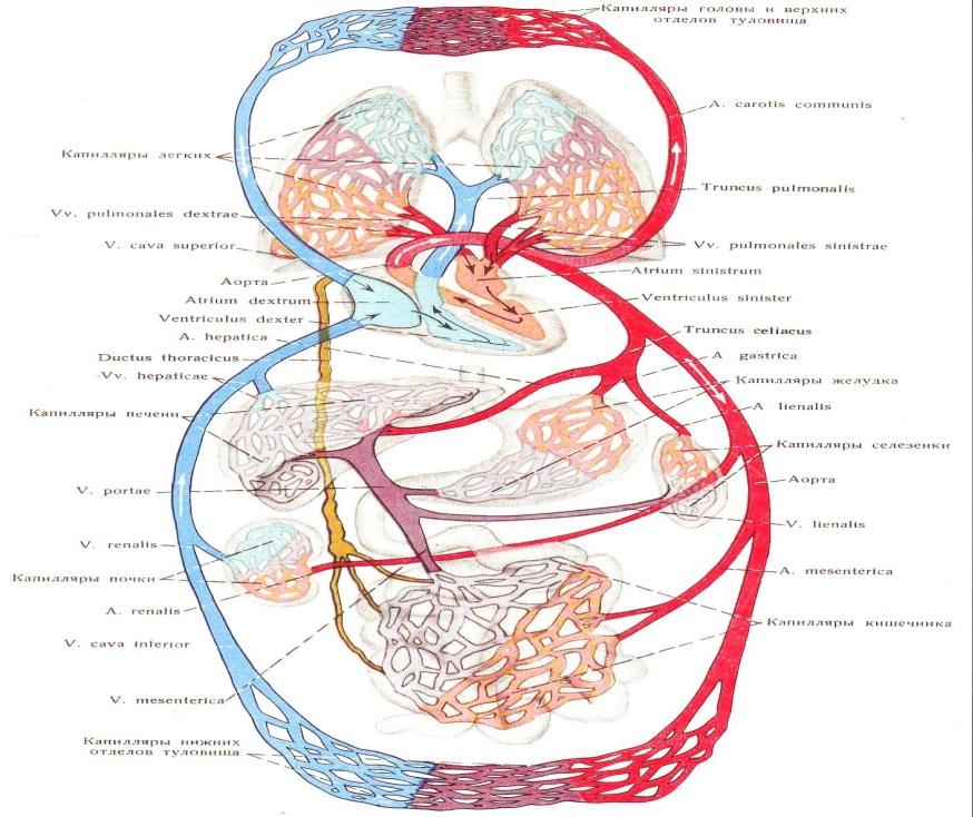 Kardio vaskularni sistem