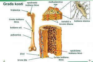 Osteologija DE 2