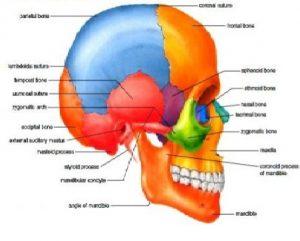 Neurocranium čine ga dva dela: krov lobanjske šupljine, dno lobanjske šupljine.