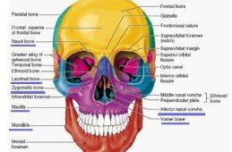 Osteologija glave 3