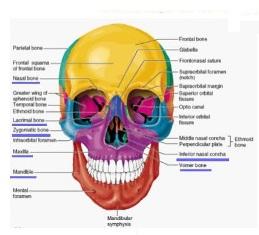 Osteologija glave 1