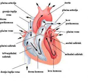 Anatomija srca i koronarnih arterija